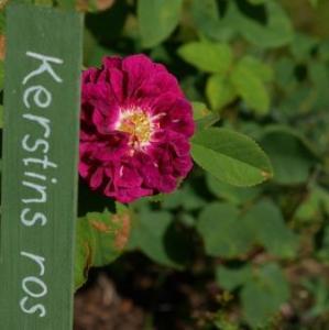Kerstins ros från Dala Järna