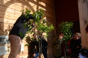 Beskärning av Gunnebos citrusträd av Oliver Laufer, Scloss Seehof