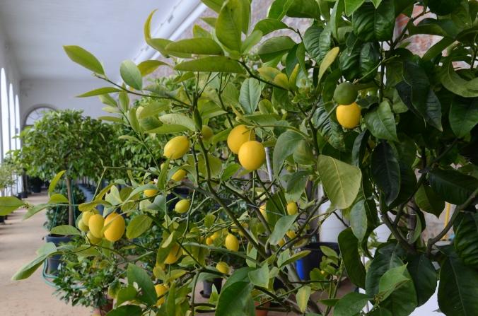 citrus-i-orangeriet-i-grossedlitz-dsc_1321