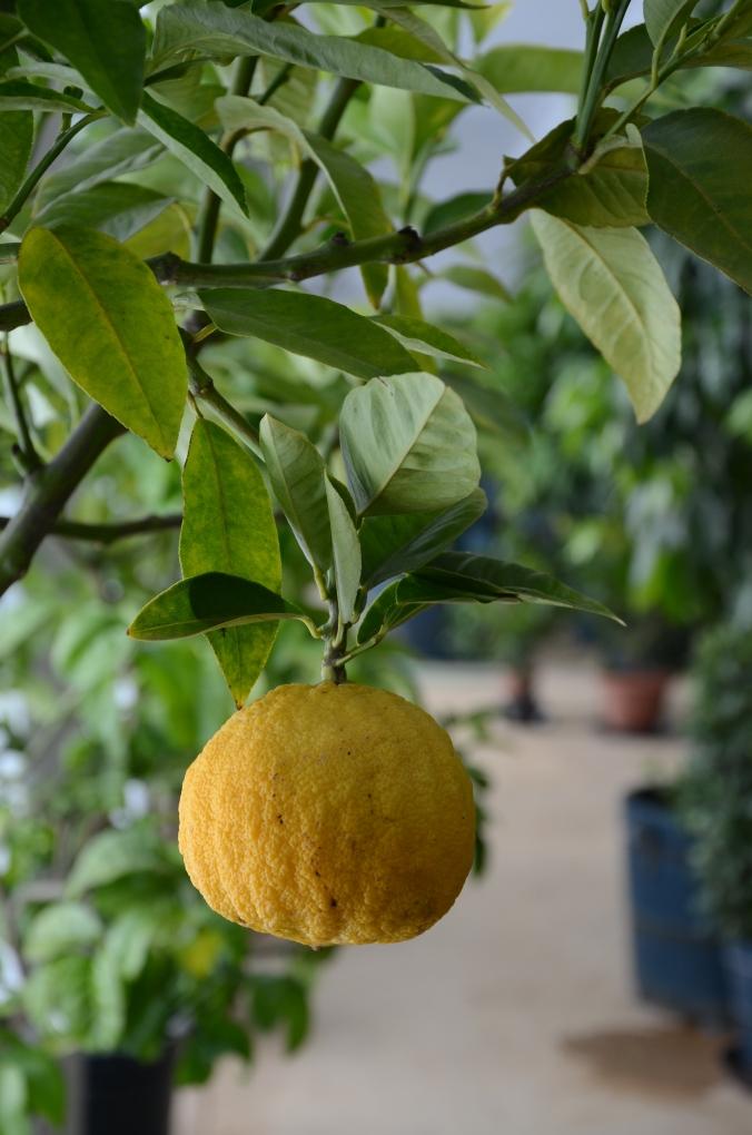 citrus-i-orangeriet-i-grosssedlitz-dsc_1332