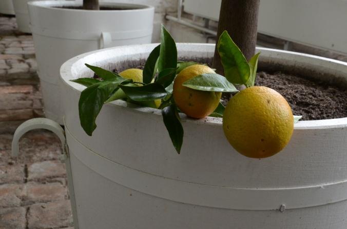 citrus-i-oranienbaum-dsc_0800