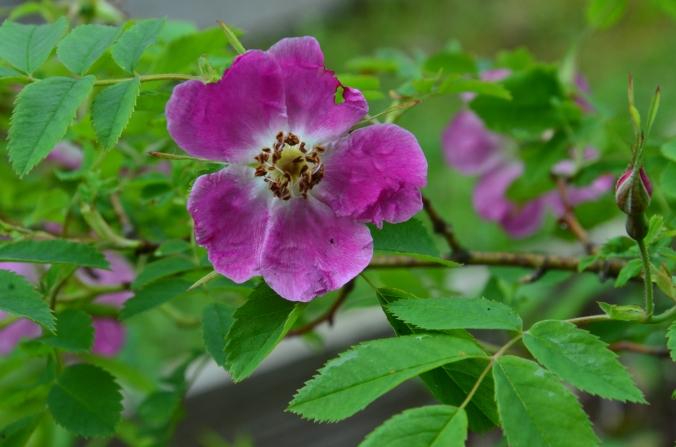 Rosa pendulina DSC_5048